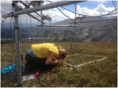 Allison Louthan, who studies inter-plant interactions in the Intermountain West in the Doak Lab, could not collect seeds from what she describes as her 'adorable' alpine study organism, Sedum lanceolatum.